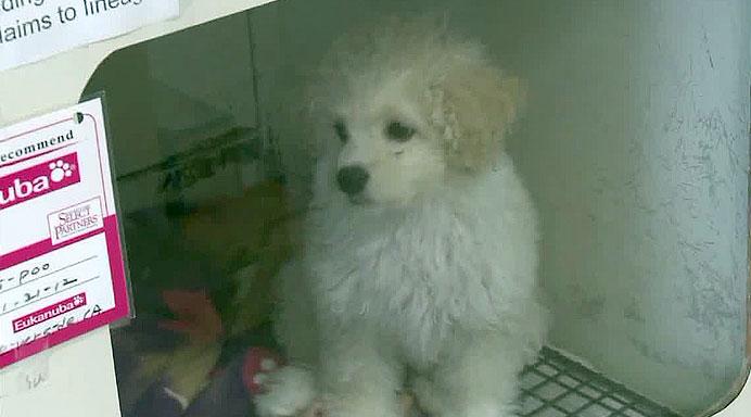 Pet store puppy