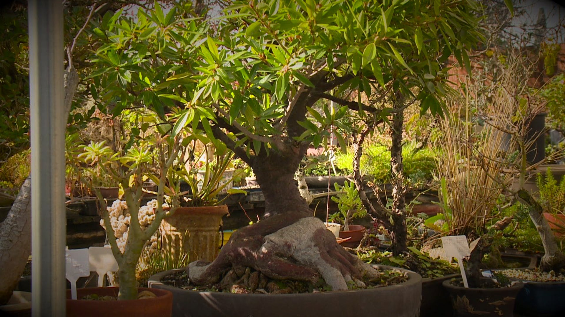 Explore San Diego Bonsai Bonanza In East County Fox 5 San Diego