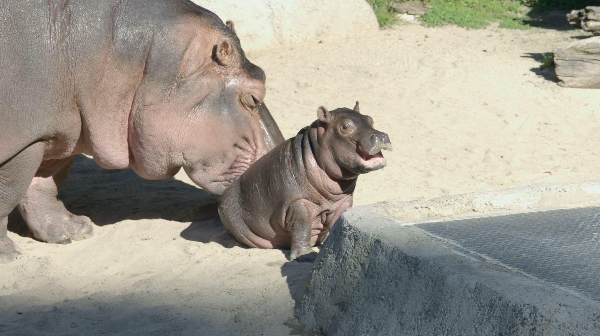 San Diego Zoo Christmas 2020 San Diego Zoo's baby hippo gets her name   FOX 5 San Diego