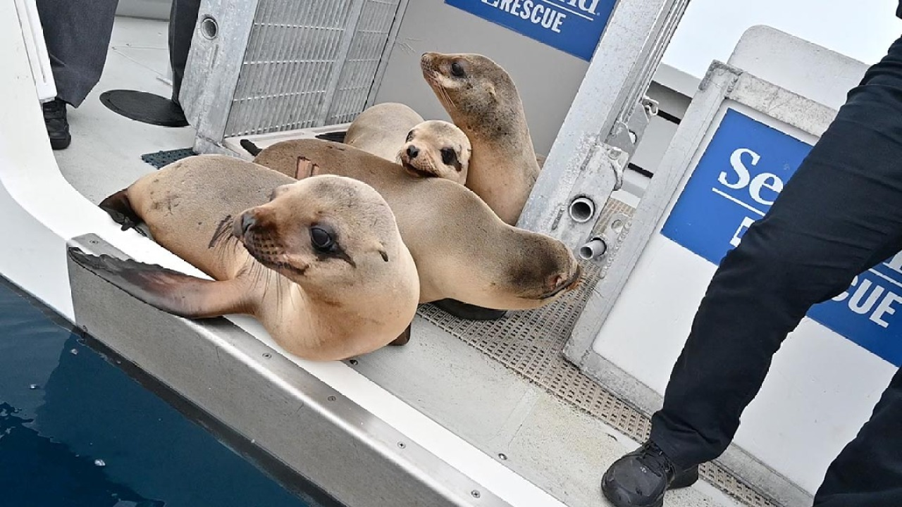 4 sea lion pups, 1 northern fur seal returned to the wild after rescue