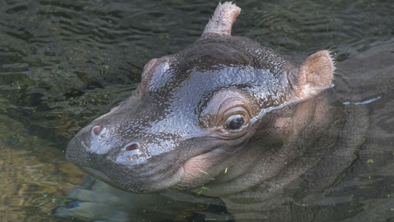 San Diego Zoo's baby hippo is healthy, growing