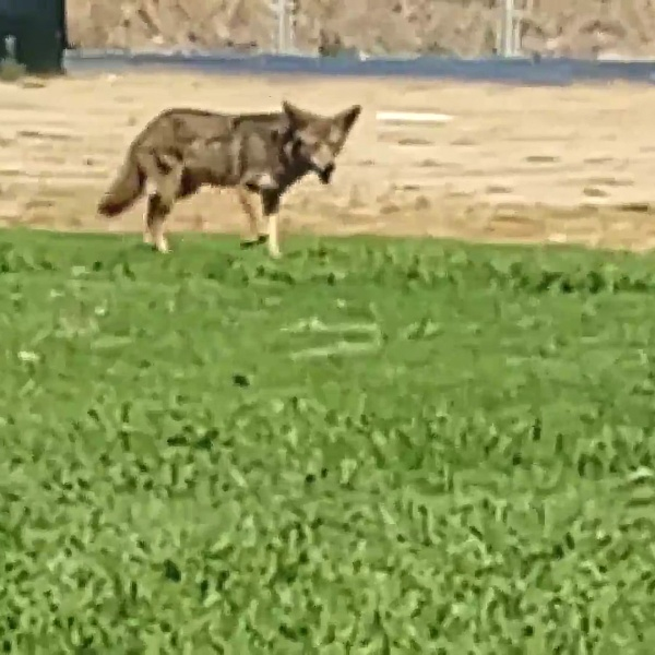 Brian Sardo recorded this coyote playing chase with his three dogs at Loma Verde Park in Chula Vista.