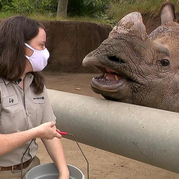 An animal keeper feeds a rhinoceros at the San Diego Zoo.