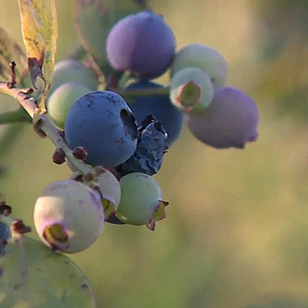 Blueberries at the Carlsbad Flower Fields